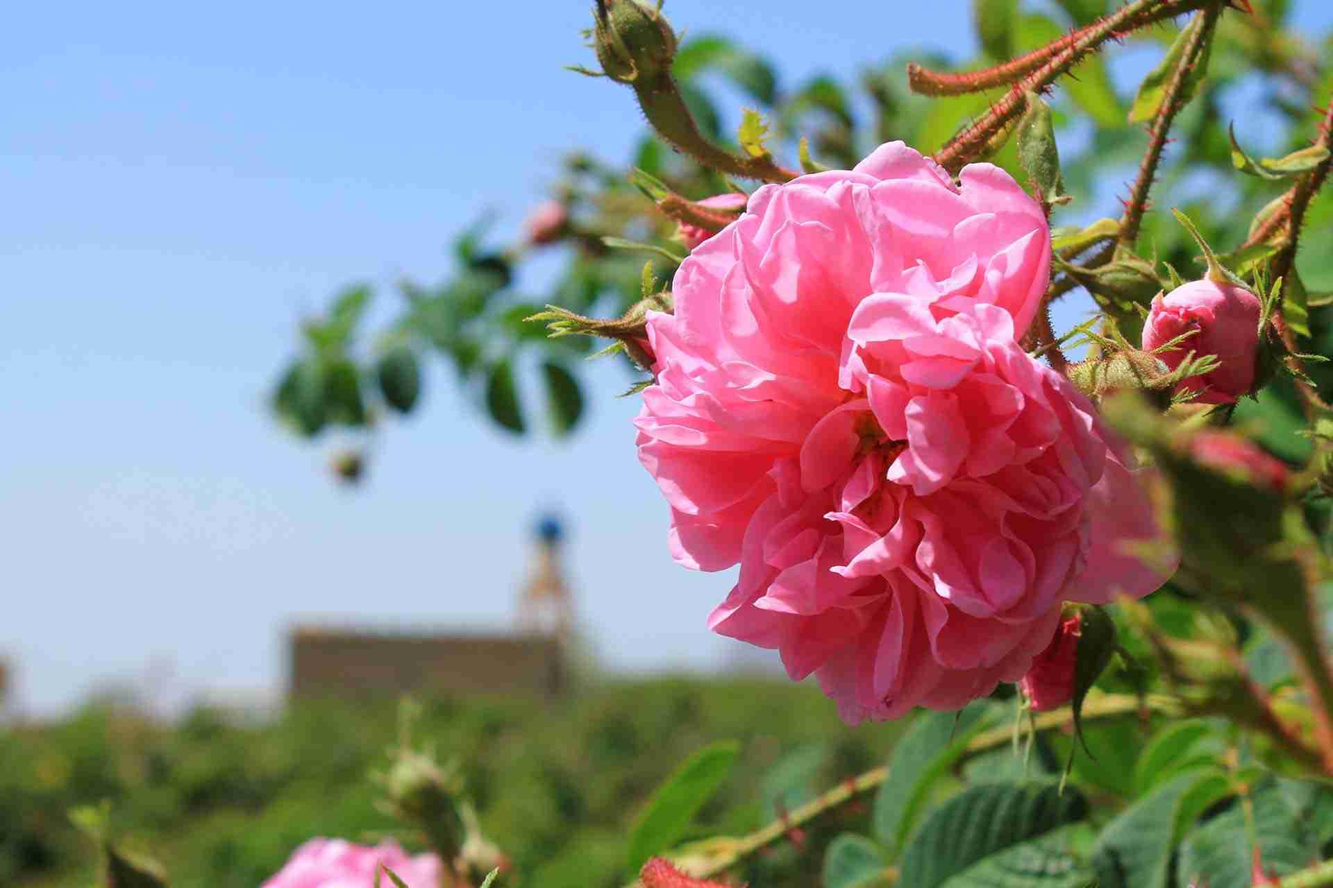 Roses in Oman